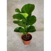 Ficus pequeno