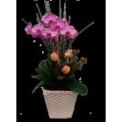Linda Orquídea phalaenopsis lilas para presentear