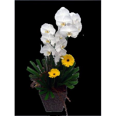 Orquídea Phalaenopsis branca modelo cascata