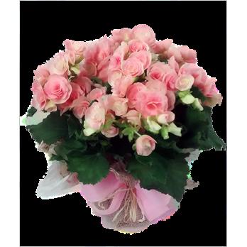 Vaso de Begônia rosa embalada