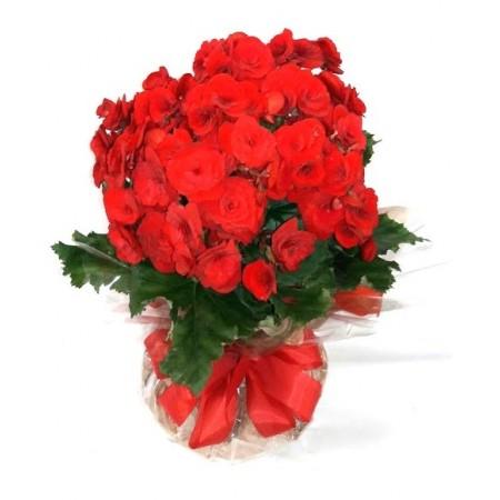 Vaso com flor de begônia vermelha