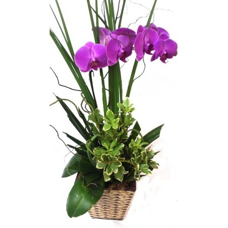 Orquídea Phalaenopsis lilas modelo cascata para presente