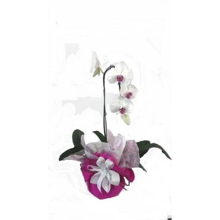 Orquídea  Phalaenopsis em embalagem especial