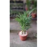 Palmeira Areca plantada em vaso