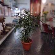 Palmeira Rafia plantada em vaso
